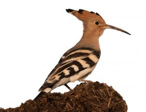 The hoopoe is Israel's national bird © Zeynel Cebeci / Wikimedia / https://creativecommons.org/licenses/by-sa/4.0/deed.de
